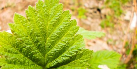 Beautiful green raspberry leaves on a bush in early spring. 스톡 콘텐츠