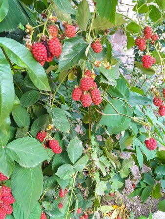 Unripe blackberry on a shrub. Blackberry prickly bush. Green blackberries on a shrub. Blackberry flowering bush. Black and red fruit Foto de archivo - 142288551
