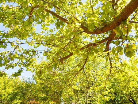 blue sky through green leaves on trees. summer landscape