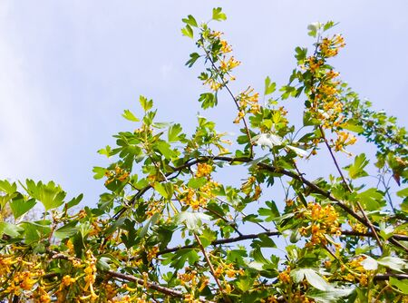 yellow currant, yellow flowers on a bush in early spring. honey plant.