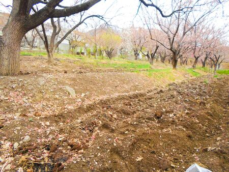 garden with bare apricot trees