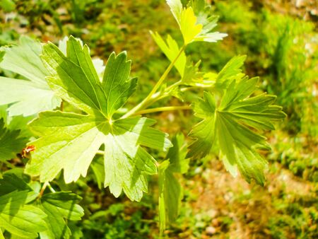 currant blooms leaves, spring awakening of a bush of currant 스톡 콘텐츠