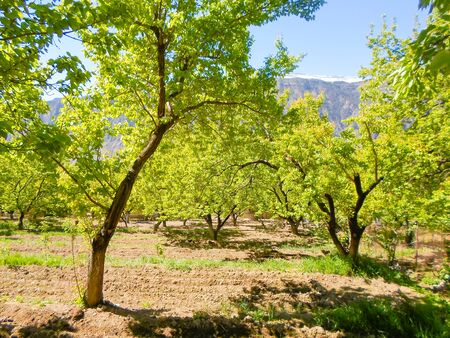 shoots and green leaves on apricot trees in the garden. plowed land for fencing. Wessen landscape apricot orchard. plowing in the spring