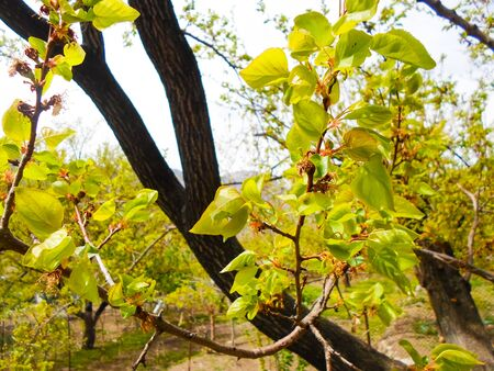 Apricot tree buds close-up. Leaves bloom in spring on a tree. Early spring