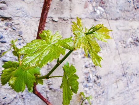 Grapevine, young grapes with leaves. Vineyard in early summer. Carrying vines in spring. Viticulture in this area. Agriculture. Fruit.