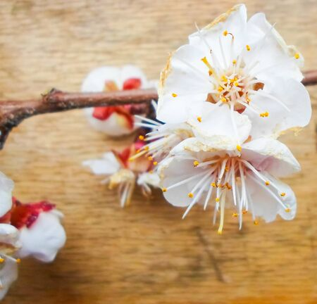 Apricot flowers on a wooden background. Apricot tree branch lies on a wooden board. Banque d'images - 142148490