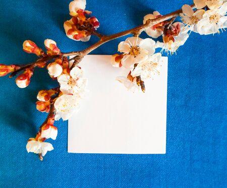 Apricot flowers on a blue background. Apricot tree branch lies on a blue board. Foto de archivo - 142382045