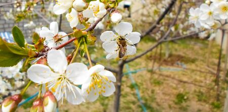 flowers and green leaves on a cherry tree. spring flowering cherry trees Foto de archivo - 142478684