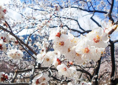 flowering apricot tree with white flowers in the afternoon on a clear day, against a blue sky. apricot tree branch with flowers Foto de archivo - 142579024