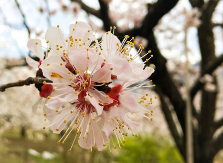 Spring beauty of the apricot tree, many flowers on the apricot tree. Foto de archivo - 143088566