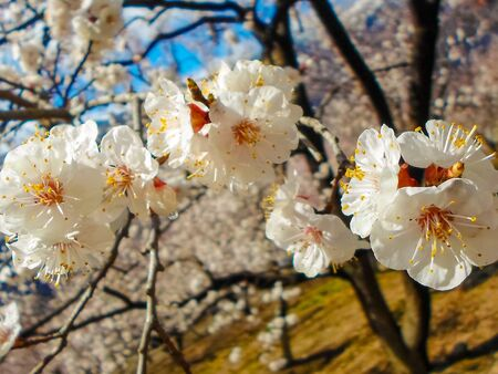 flowering apricot tree with white flowers in the afternoon on a clear day, against a blue sky. apricot tree branch with flowers Foto de archivo - 142629364
