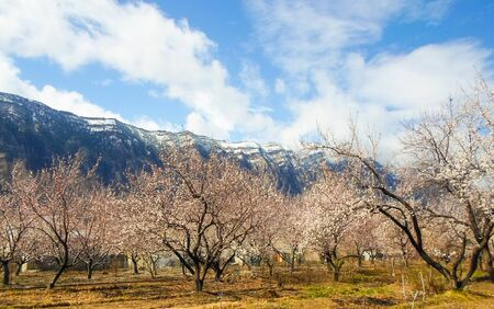 flowering apricot tree with white flowers in the afternoon on a clear day, against the blue sky of a snow-capped mountain. apricot tree branch with flowers Foto de archivo - 142629346
