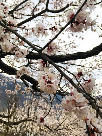 Spring beauty of the apricot tree, many flowers on the apricot tree. Foto de archivo - 142706074