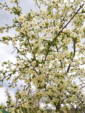 flowers and green leaves on a cherry tree. spring flowering cherry trees Foto de archivo - 142706149