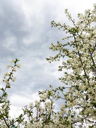 flowers and green leaves on a cherry tree. spring flowering cherry trees Foto de archivo - 142706318
