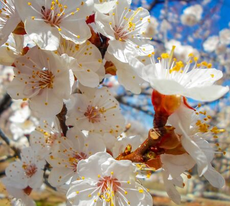 flowering apricot tree with white flowers in the afternoon on a clear day, against a blue sky. apricot tree branch with flowers Foto de archivo - 142706399