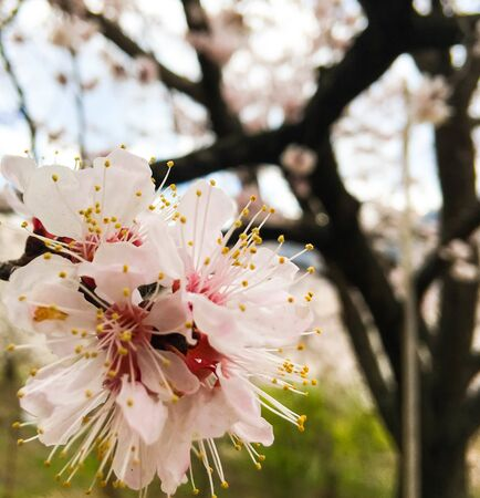 Spring beauty of the apricot tree, many flowers on the apricot tree. Foto de archivo - 142707008