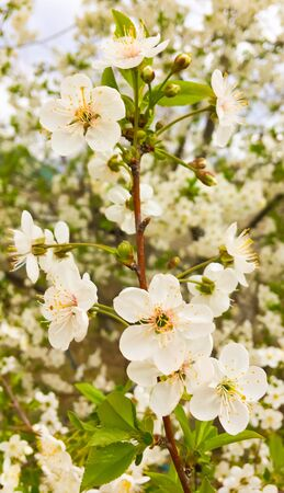 flowers and green leaves on a cherry tree. spring flowering cherry trees Foto de archivo - 142831035