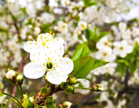 flowers and green leaves on a cherry tree. spring flowering cherry trees Foto de archivo - 142831052
