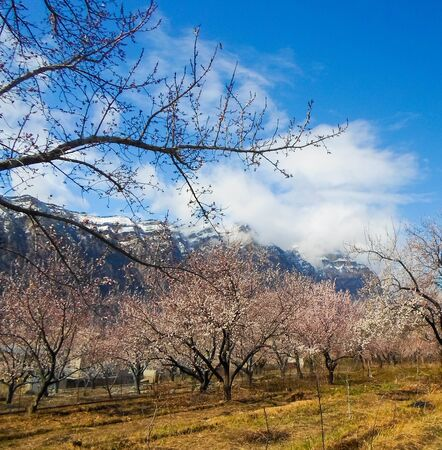 flowering apricot tree with white flowers in the afternoon on a clear day, against the blue sky of a snow-capped mountain. apricot tree branch with flowers Foto de archivo - 142832501