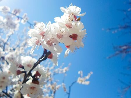 flowering apricot tree with white flowers in the afternoon on a clear day, against a blue sky. apricot tree branch with flowers Foto de archivo - 142833647