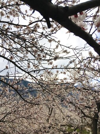 Spring beauty of the apricot tree, many flowers on the apricot tree. Foto de archivo - 143089659