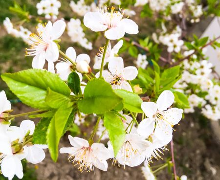 flowers and green leaves on a cherry tree. spring flowering cherry trees Foto de archivo - 143005509