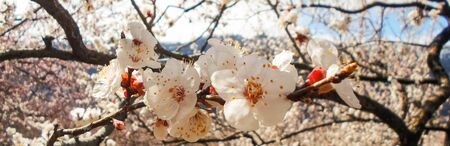 flowering apricot tree with white flowers in the afternoon on a clear day, against a blue sky. apricot tree branch with flowers Foto de archivo - 143017701