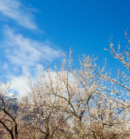 flowering apricot tree with white flowers in the afternoon on a clear day, against the blue sky of a snow-capped mountain. apricot tree branch with flowers Foto de archivo - 143017662