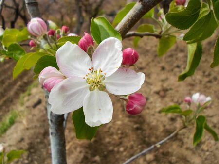 Pink blossom and green leaves of an apple tree tree in a city park on a spring day. delicate flowers and leaves of apple trees on branches, beautiful flowers on in the garden Foto de archivo - 143018444