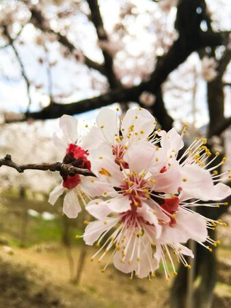 Spring beauty of the apricot tree, many flowers on the apricot tree. Foto de archivo - 143124537