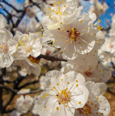 flowering apricot tree with white flowers in the afternoon on a clear day, against a blue sky. apricot tree branch with flowers Foto de archivo - 143266873
