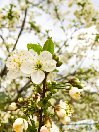flowers and green leaves on a cherry tree. spring flowering cherry trees Foto de archivo - 143267452