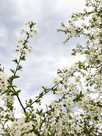 flowers and green leaves on a cherry tree. spring flowering cherry trees Foto de archivo - 143267483