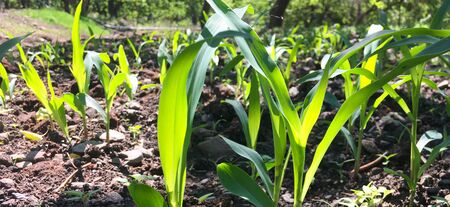 Fresh green sprouts of maize in spring on the field, soft focus. Corn as a biofuel, agricultural plants for alternative green energy. Agricultural scene with corn's sprouts in earth closeup. Foto de archivo