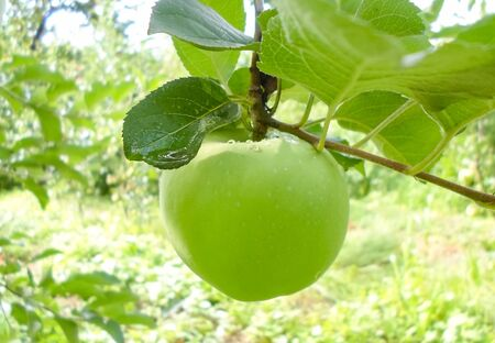 green juicy apples on tree branches after rain. apples with water droplets on a branch