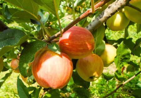 Large green and red apples on apple tree branches in the garden on a summer day