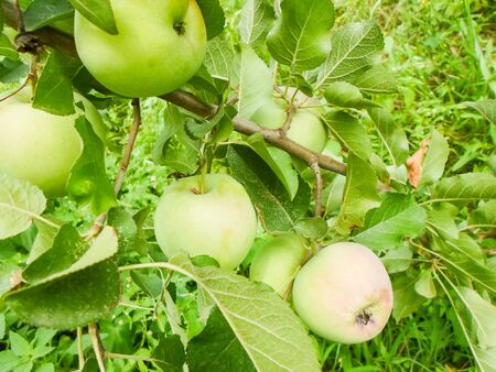 Large green apples on apple tree branches in the garden on a summer day.