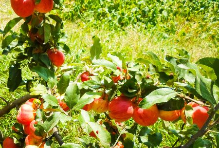 Large red apples on the branches of an apple tree in the garden on a summer day.
