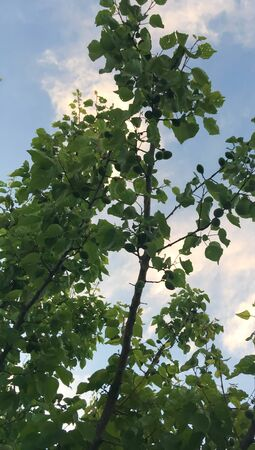 summer garden with green apricot trees against the sky. frame of trees and blue sky