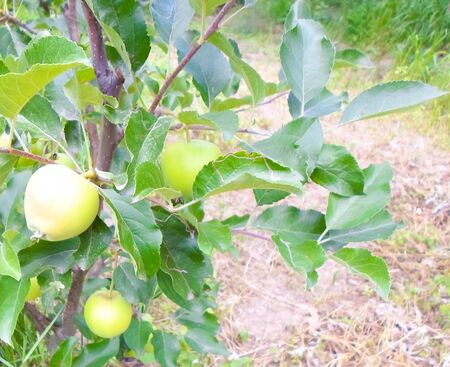 green apples on a tree in summer. apple orchard with beautiful apples Foto de archivo
