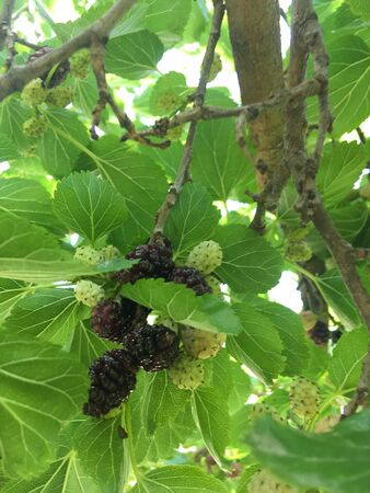 Organic mulberry tree and green leaves unripe and ripe black mulberry tree on a branch. Purple red mulberry tree on a fresh mulberry tree provides a high content of fiber and healthy nutrients. Foto de archivo
