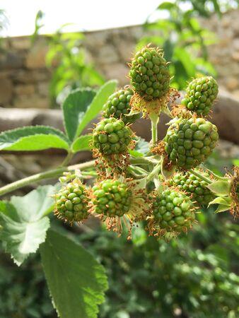 Unripe blackberry on a shrub. Blackberry prickly bush. Green blackberries on a shrub. Blackberry flowering bush. Black and red fruit