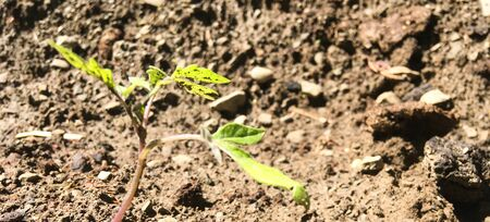 Tomato seedlings. Sprout into the ground. Agriculture and vegetable growing. Planting tomato seedlings in the ground. Green young newly planted tomato seedling in black soil close up