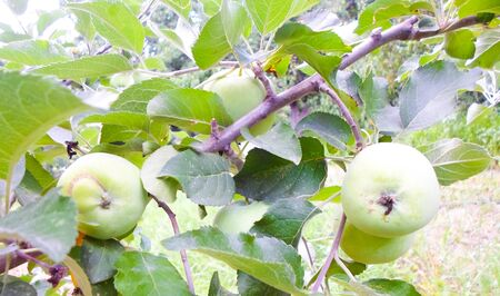 green apples on a tree after rain. apples with raindrops Foto de archivo