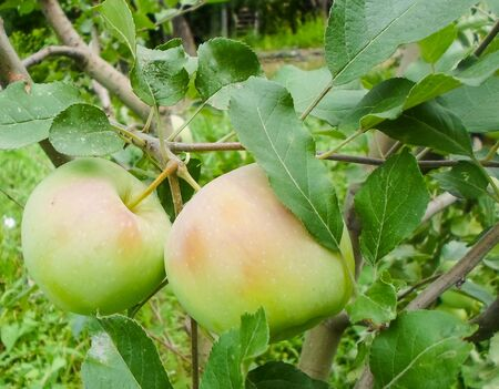 Green apples on the branch of apple tree in orchard