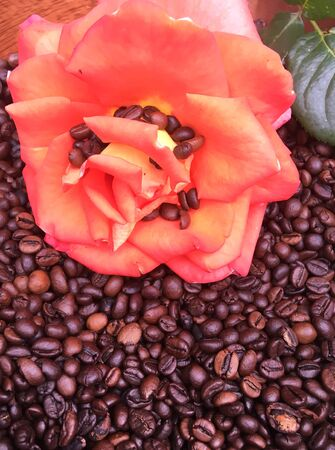 roasted large coffee beans on red rose, coffee beans texture background