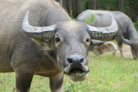 water buffalo eating grass in field and looking to a camera. Imagens - 42724953