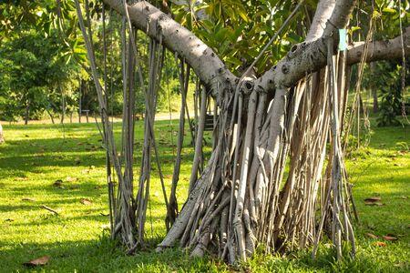pflanze wachstum: Rhizomatous Pflanzenwachstum