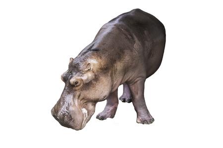 hippopotamus: hipopótamo aislado